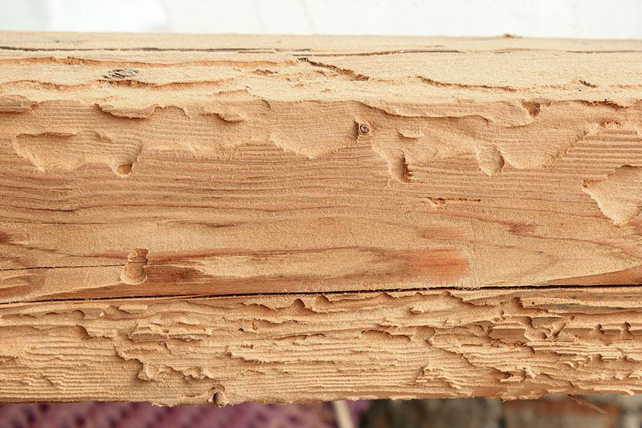 Husbockens larver som skadat takstol