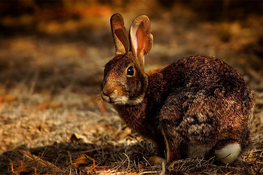 Större skadedjur hare