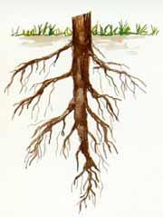Träd har olika rotsystem