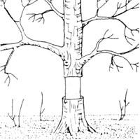 Träd som ringmärkts
