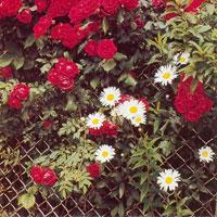Låt nätstängslet blomma