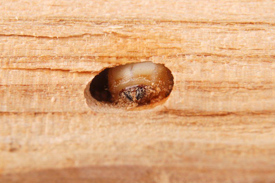 insekter-som-ater-pa-huset-1.jpg